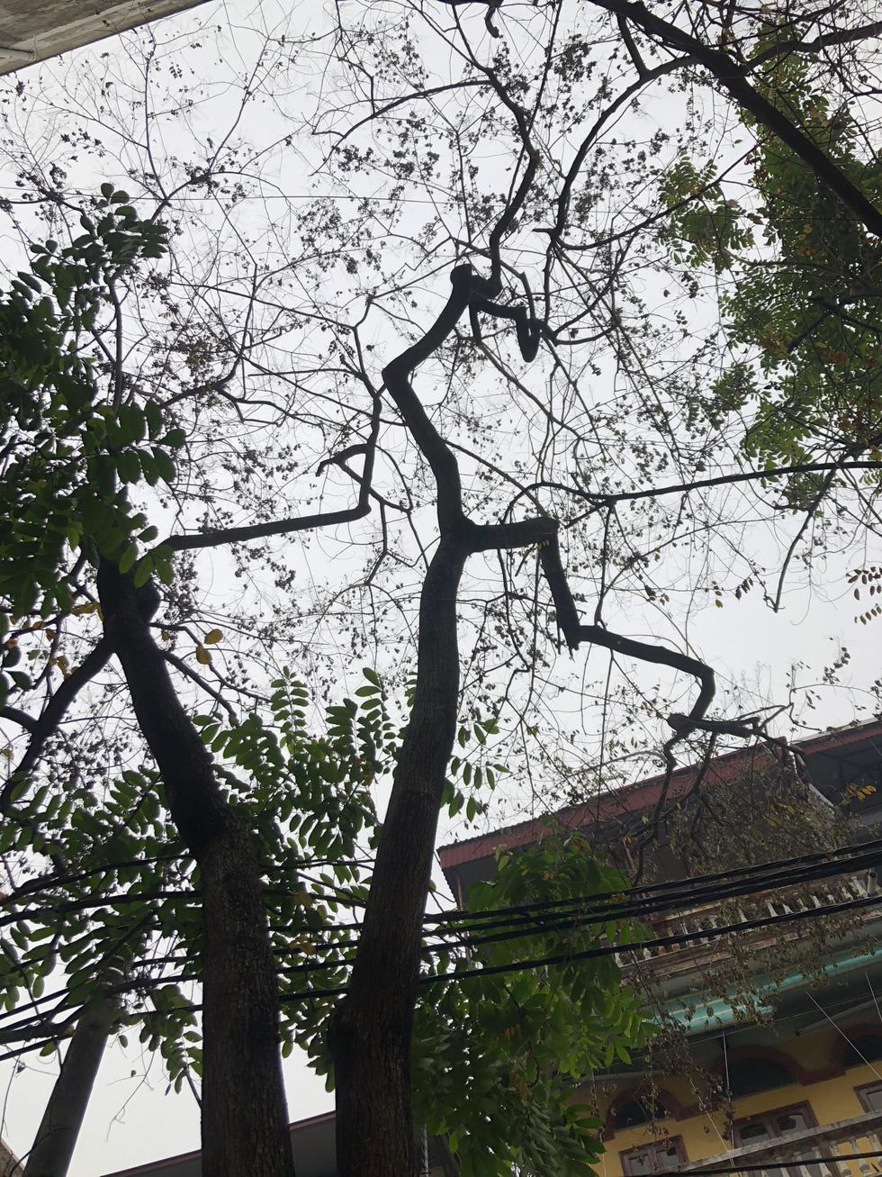 Hàng cây sưa 30 tuổi trong khu tập thể Hà Nội bị bức tử? - Ảnh 5.