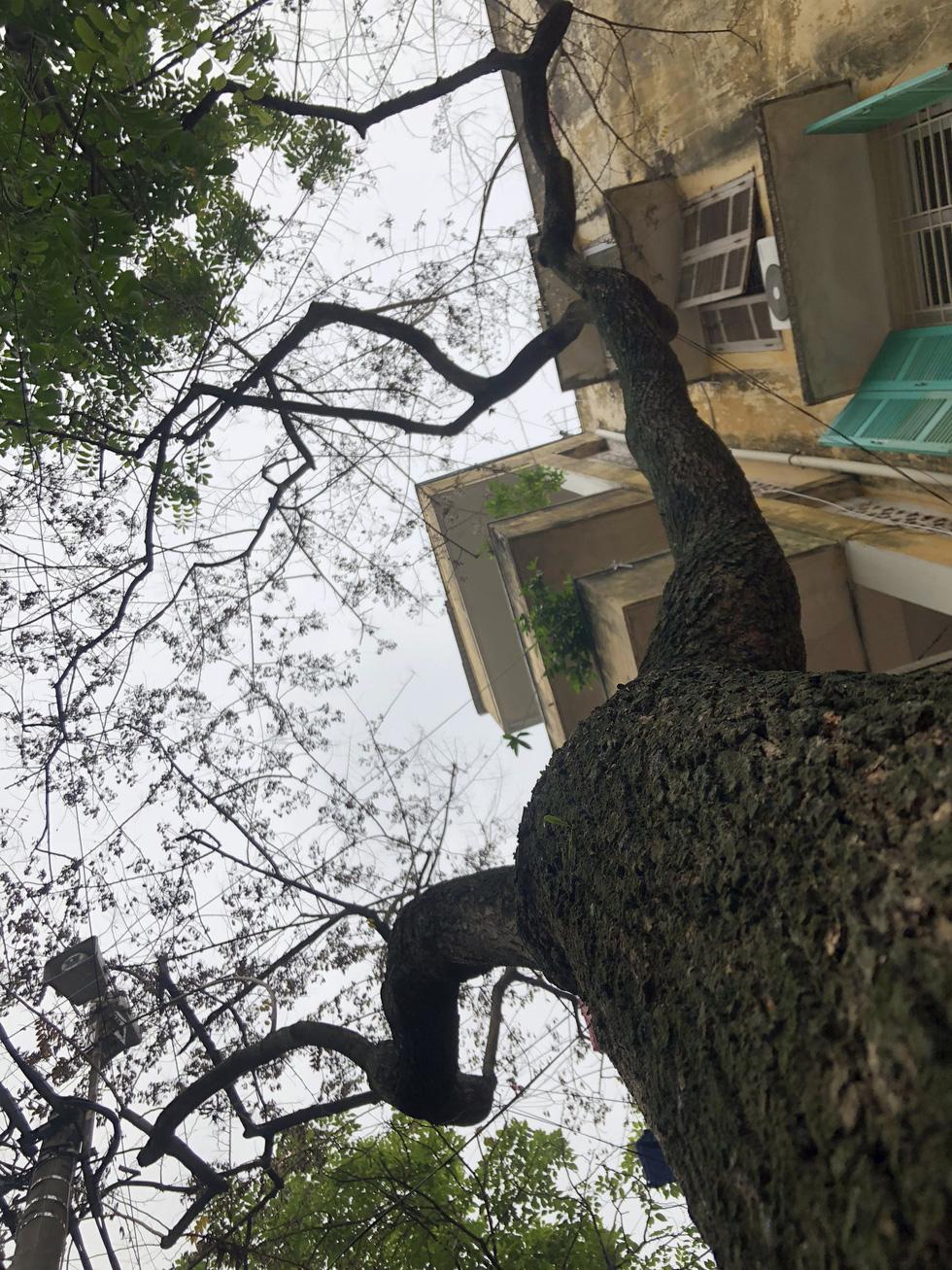Hàng cây sưa 30 tuổi trong khu tập thể Hà Nội bị bức tử? - Ảnh 6.