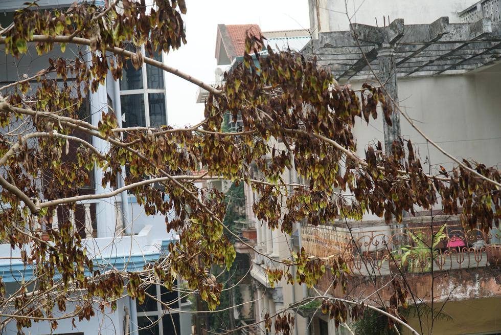 Hàng cây sưa 30 tuổi trong khu tập thể Hà Nội bị bức tử? - Ảnh 8.