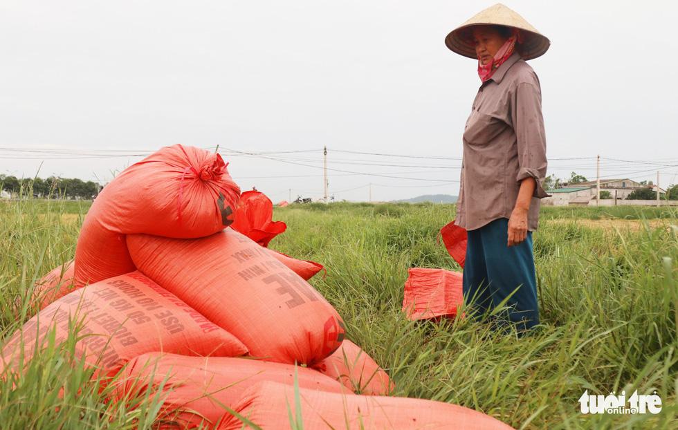 Nông dân Nghệ An hối hả thu hoạch lúa 'chạy' bão số 4 - Ảnh 5.
