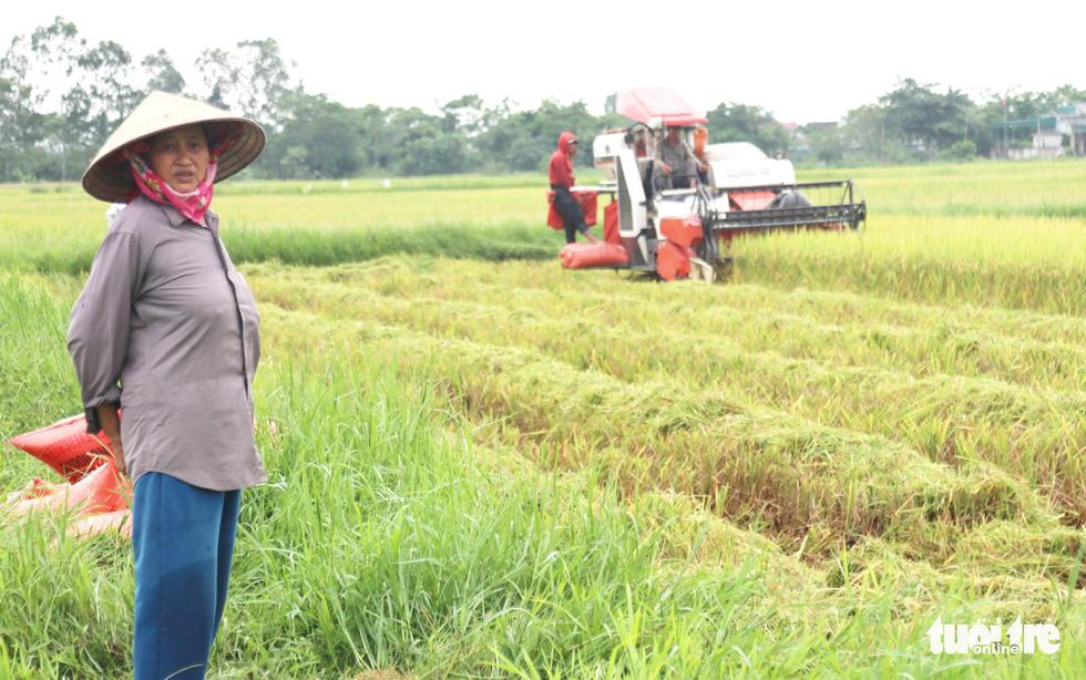 Nông dân Nghệ An hối hả thu hoạch lúa 'chạy' bão số 4 - Ảnh 1.