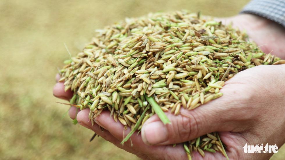 Nông dân Nghệ An hối hả thu hoạch lúa 'chạy' bão số 4 - Ảnh 9.