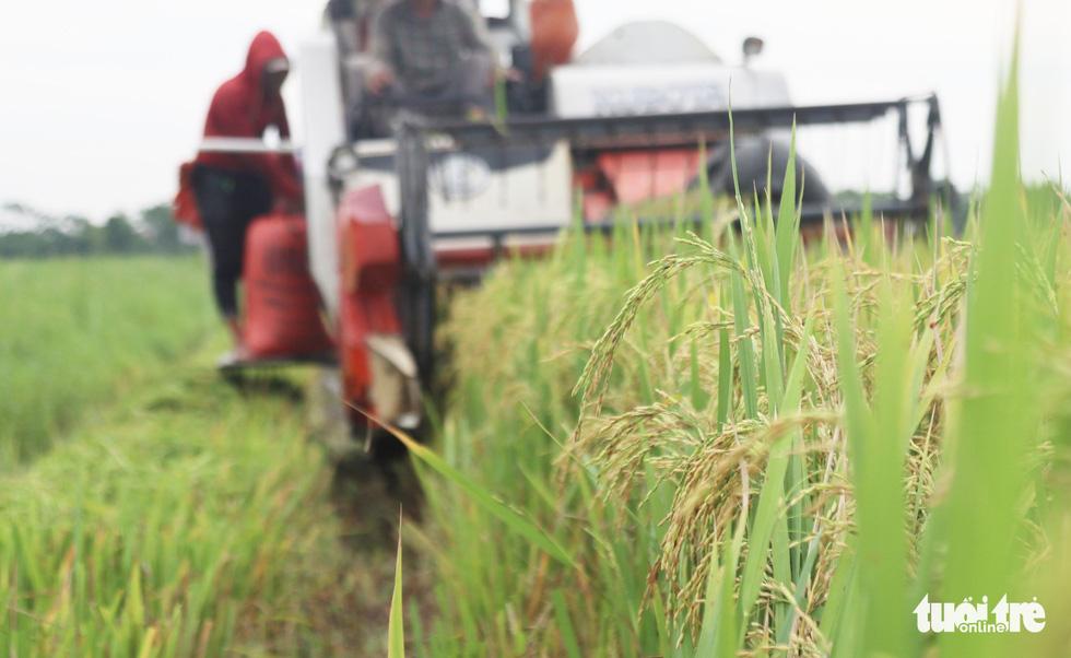 Nông dân Nghệ An hối hả thu hoạch lúa 'chạy' bão số 4 - Ảnh 7.