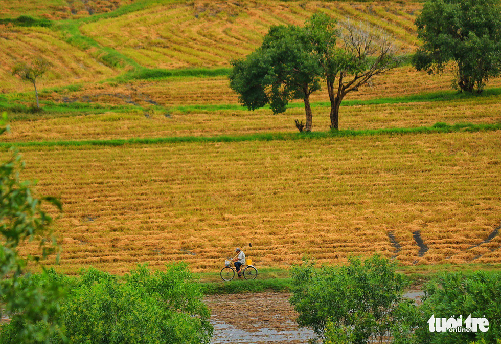 Bình dị mà rạng rỡ trên cánh đồng lúa Tà Pạ ở Tri Tôn - Ảnh 1.
