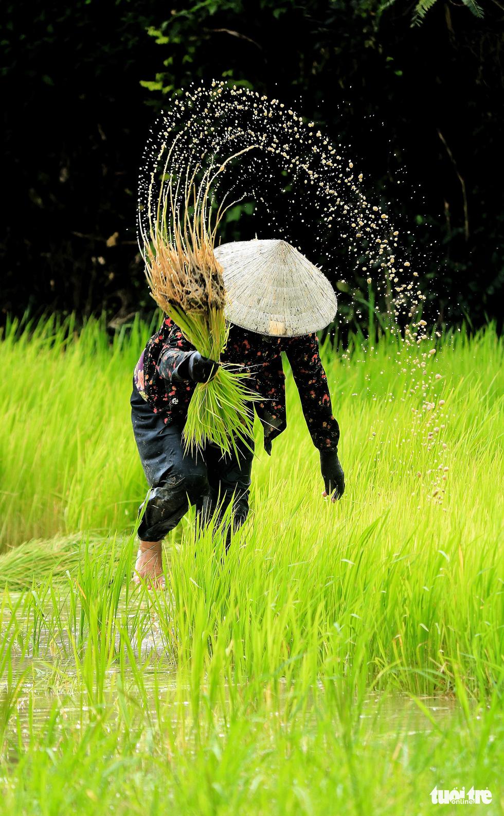 Bình dị mà rạng rỡ trên cánh đồng lúa Tà Pạ ở Tri Tôn - Ảnh 6.