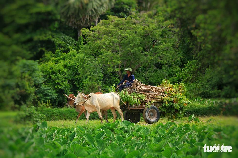 Bình dị mà rạng rỡ trên cánh đồng lúa Tà Pạ ở Tri Tôn - Ảnh 9.