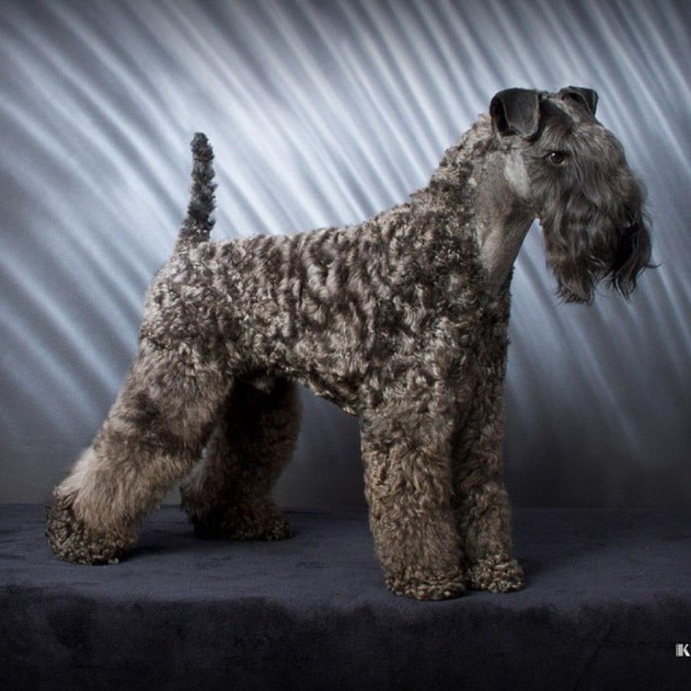 Điểm mặt những giống chó siêu đắt, chi phí nuôi siêu cao trên thế giới - Ảnh 3.