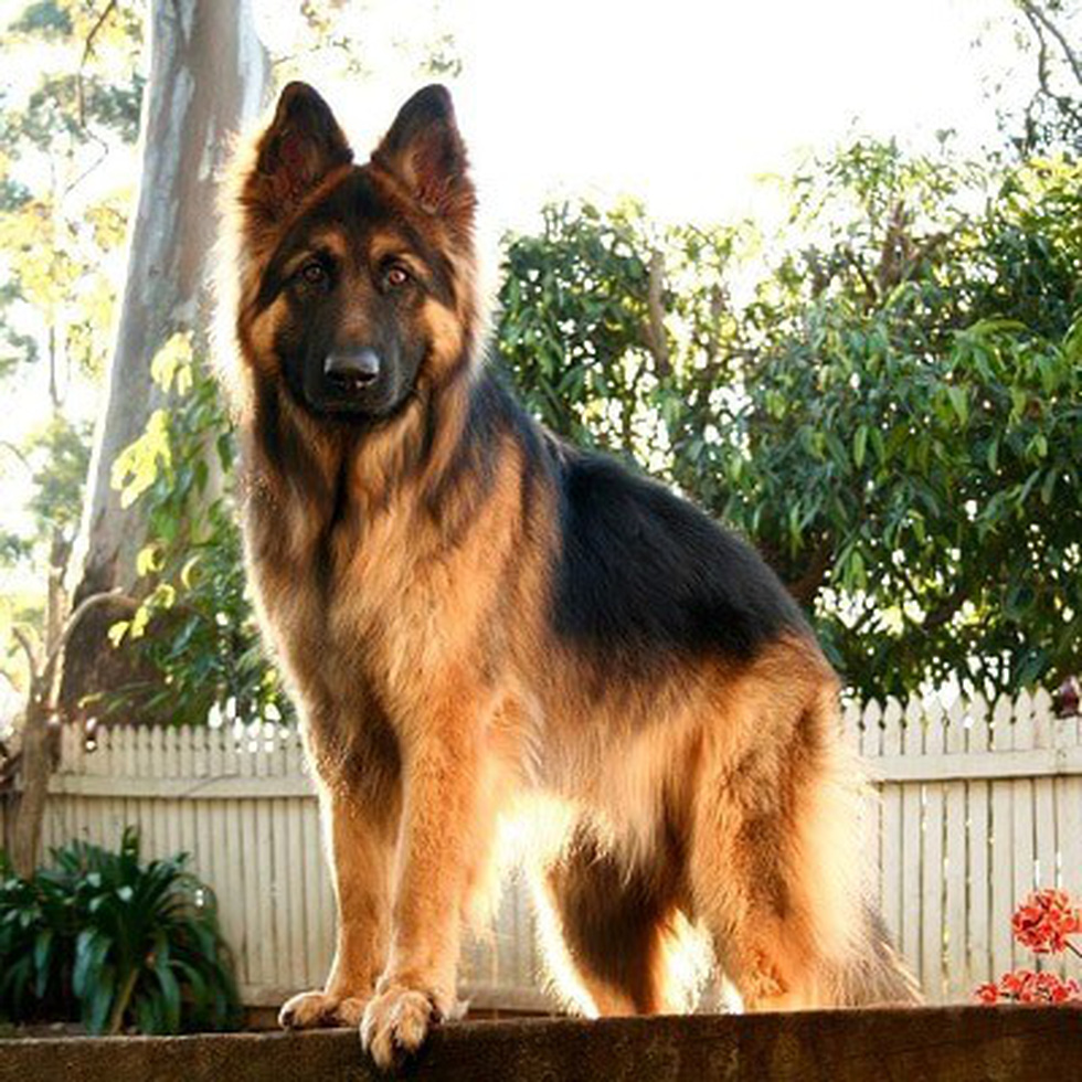 Điểm mặt những giống chó siêu đắt, chi phí nuôi siêu cao trên thế giới - Ảnh 6.