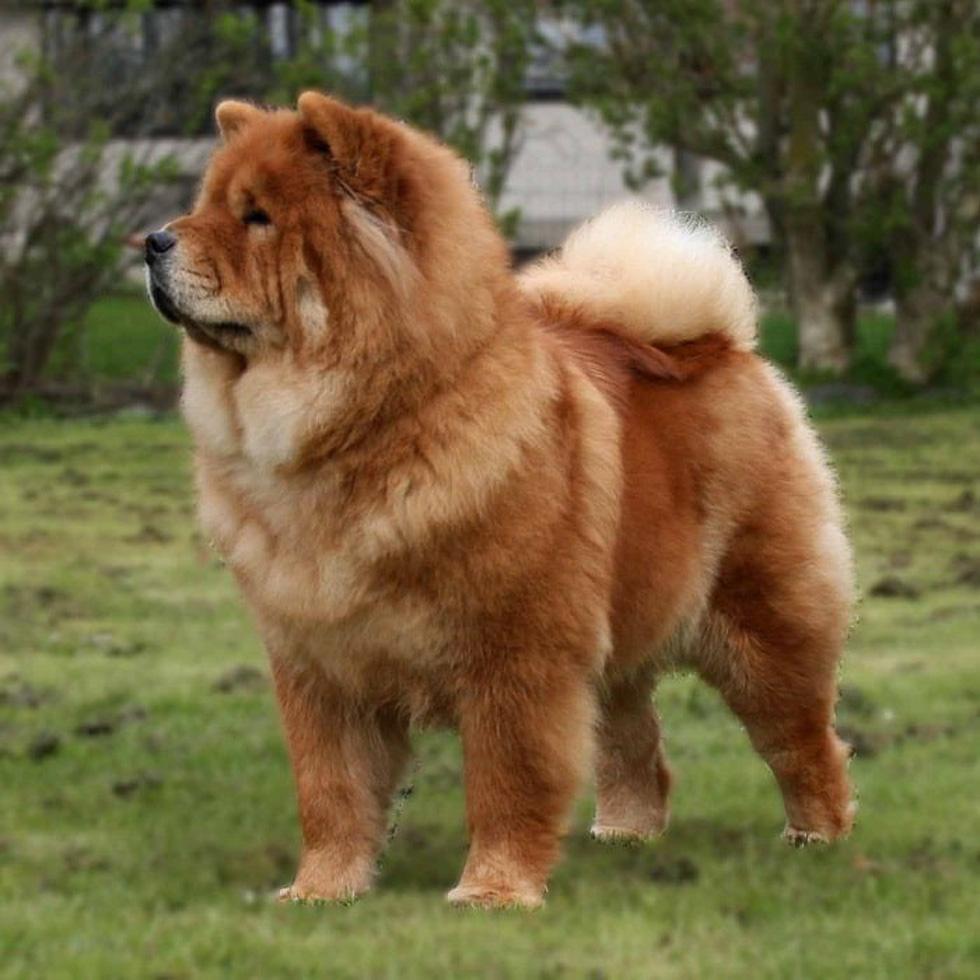 Điểm mặt những giống chó siêu đắt, chi phí nuôi siêu cao trên thế giới - Ảnh 7.