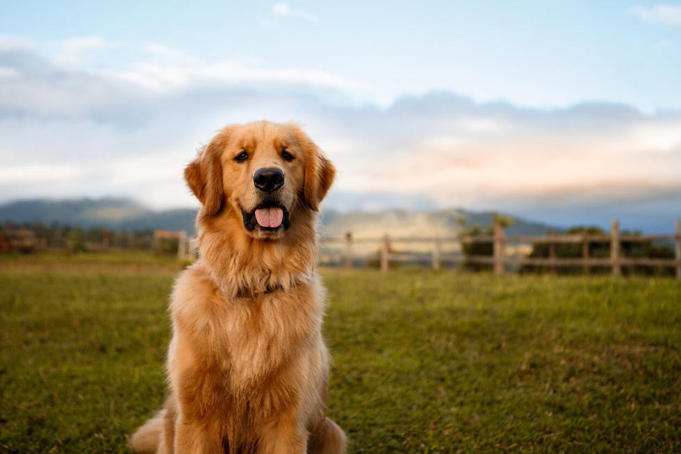 Điểm mặt những giống chó siêu đắt, chi phí nuôi siêu cao trên thế giới - Ảnh 2.