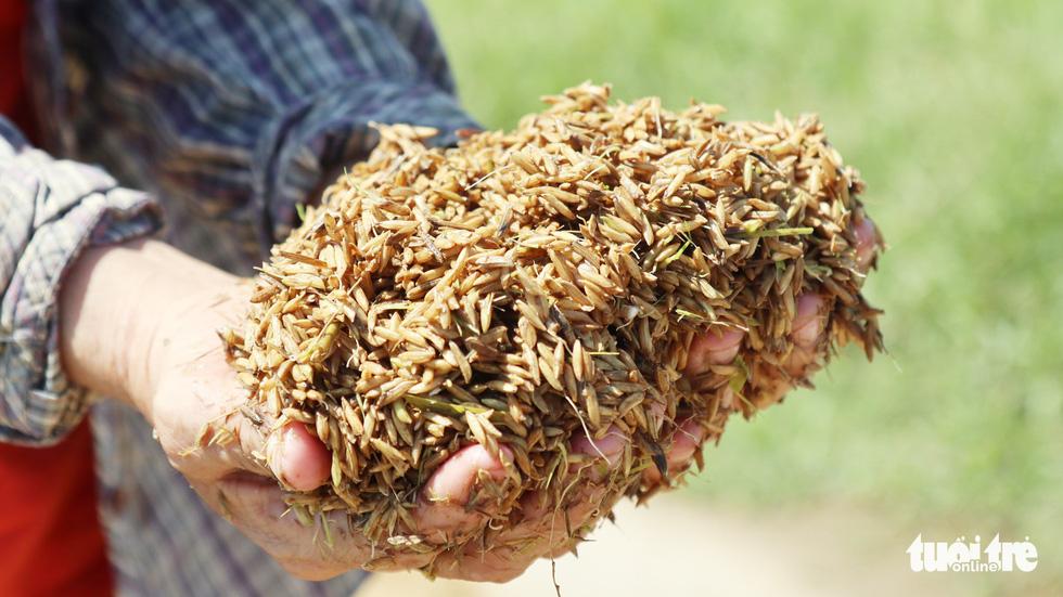 Nông dân Hà Tĩnh xót xa cắt lúa lên mầm sau mưa lũ - Ảnh 6.