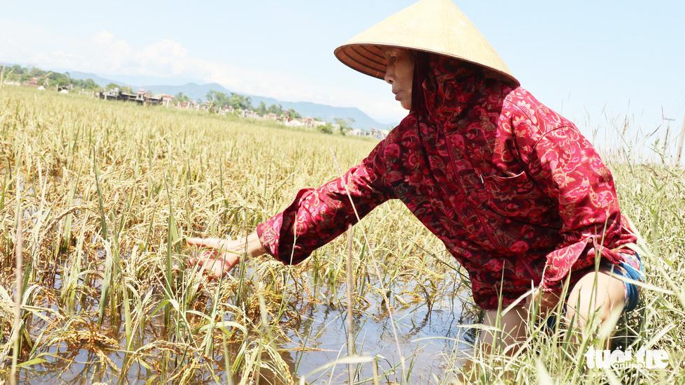 Nông dân Hà Tĩnh xót xa cắt lúa lên mầm sau mưa lũ - Ảnh 4.