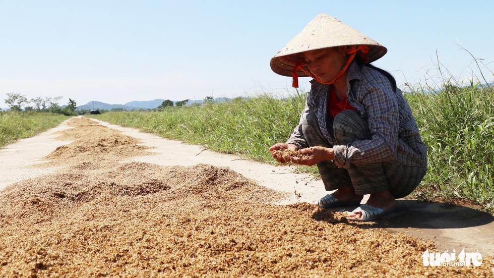 Nông dân Hà Tĩnh xót xa cắt lúa lên mầm sau mưa lũ - Ảnh 5.