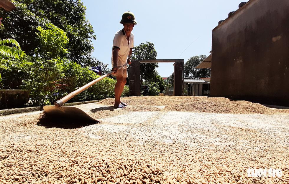 Nông dân Hà Tĩnh xót xa cắt lúa lên mầm sau mưa lũ - Ảnh 9.