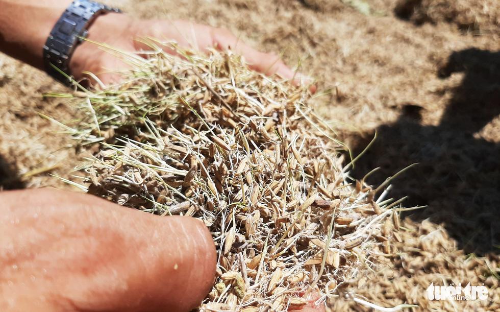 Nông dân Hà Tĩnh xót xa cắt lúa lên mầm sau mưa lũ - Ảnh 1.