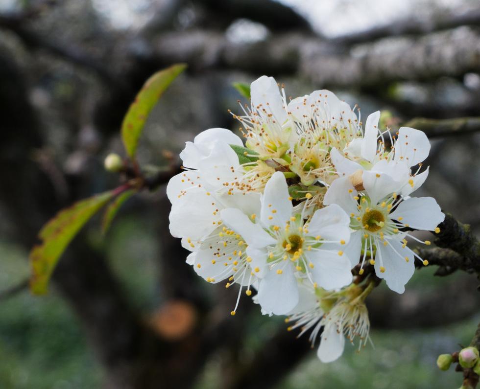 Lạc bước thiên đường trắng Mộc Châu mùa hoa mận nở - Ảnh 4.