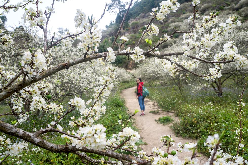 Lạc bước thiên đường trắng Mộc Châu mùa hoa mận nở - Ảnh 7.