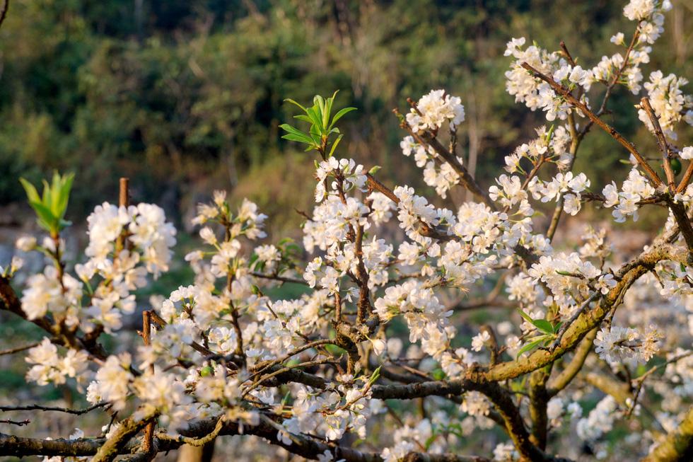Lạc bước thiên đường trắng Mộc Châu mùa hoa mận nở - Ảnh 12.