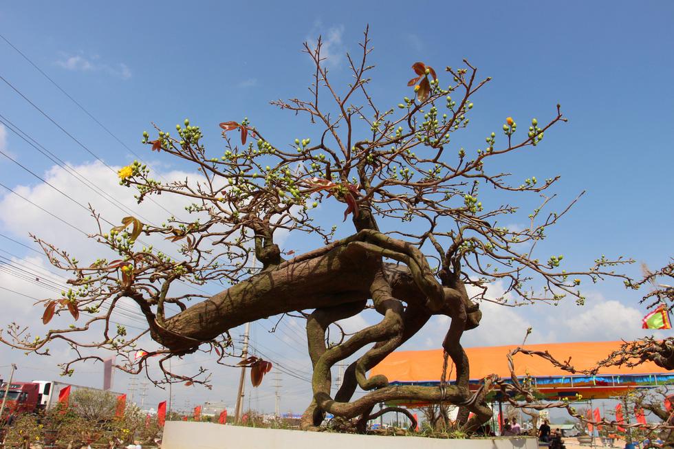 Chiêm ngưỡng đại lão mai Nét xưa Bình Định, Khủng long bạo chúa, Vũ nữ chân dài - Ảnh 11.