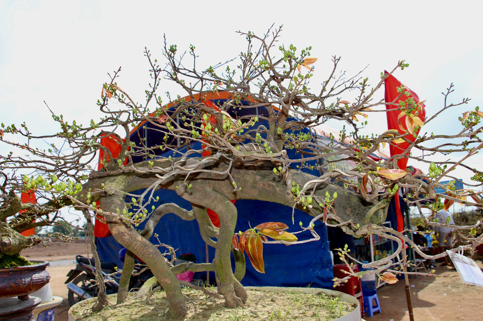 Chiêm ngưỡng đại lão mai Nét xưa Bình Định, Khủng long bạo chúa, Vũ nữ chân dài - Ảnh 5.