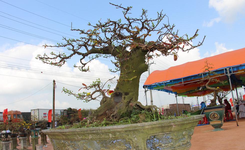 Chiêm ngưỡng đại lão mai Nét xưa Bình Định, Khủng long bạo chúa, Vũ nữ chân dài - Ảnh 7.