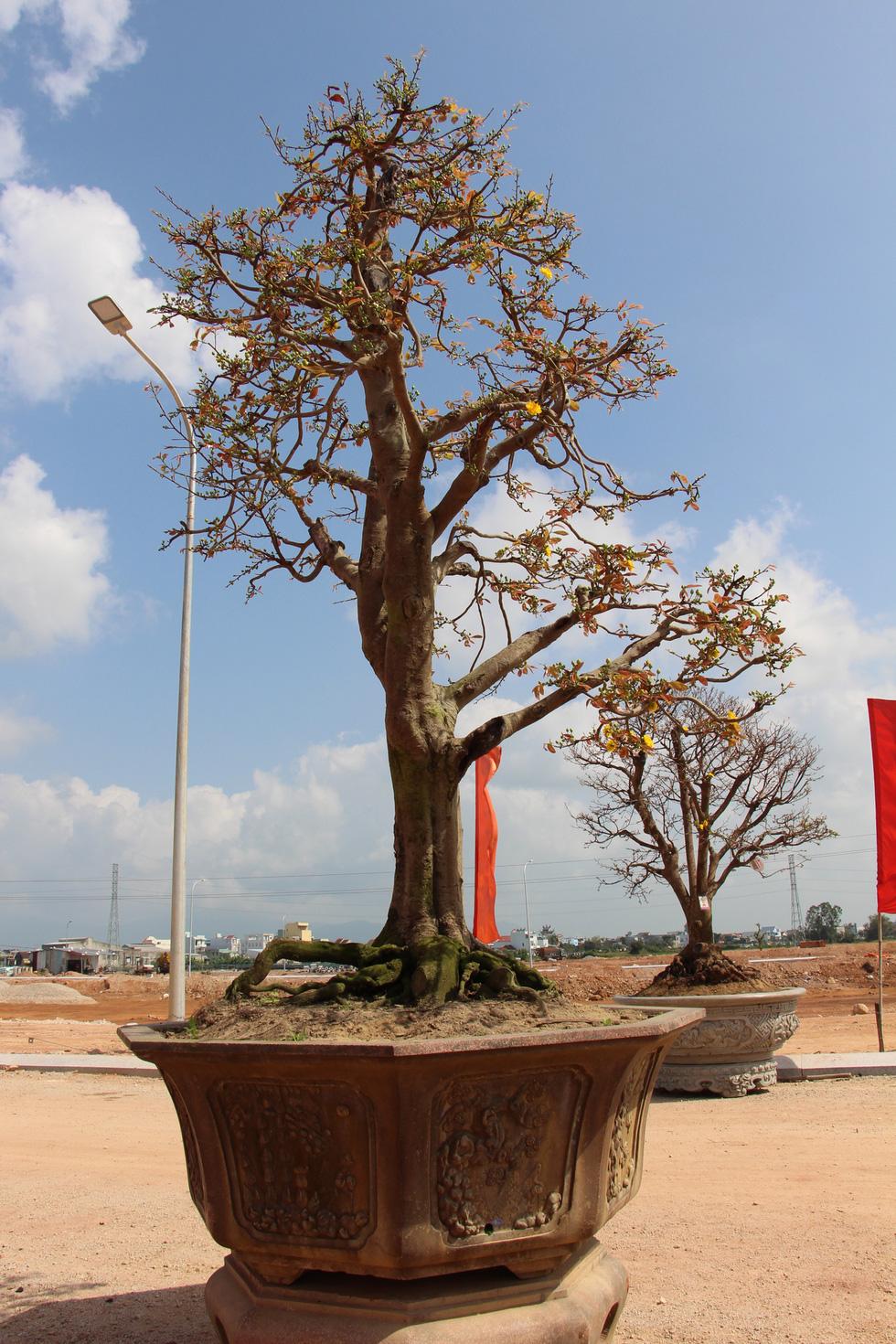 Chiêm ngưỡng đại lão mai Nét xưa Bình Định, Khủng long bạo chúa, Vũ nữ chân dài - Ảnh 12.