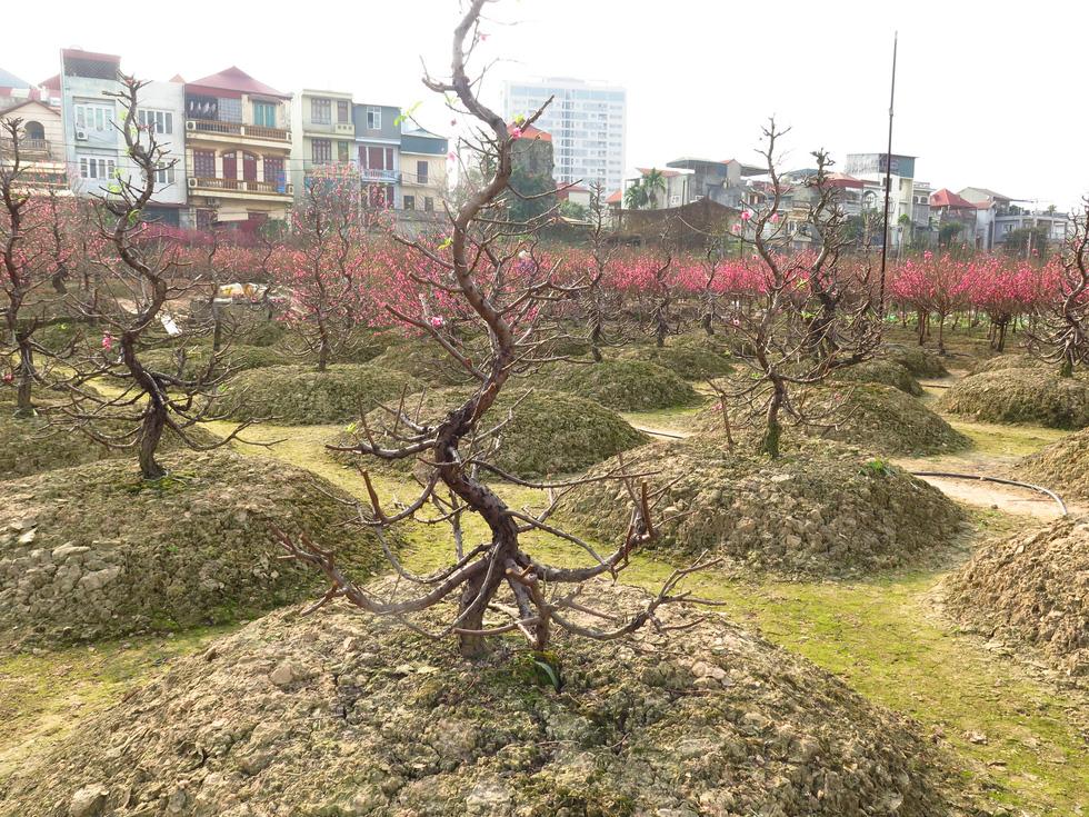 Nắng ấm đào bung khoe hết sắc, người trồng khóc vì lỗ vốn - Ảnh 8.