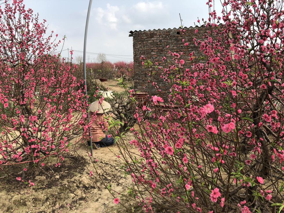 Nắng ấm đào bung khoe hết sắc, người trồng khóc vì lỗ vốn - Ảnh 6.