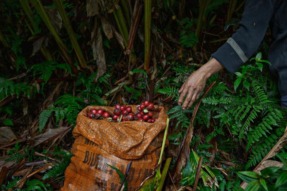 Chuyến thu hoạch thảo quả ở vườn quốc gia Hoàng Liên lên NatGeo - Ảnh 1.