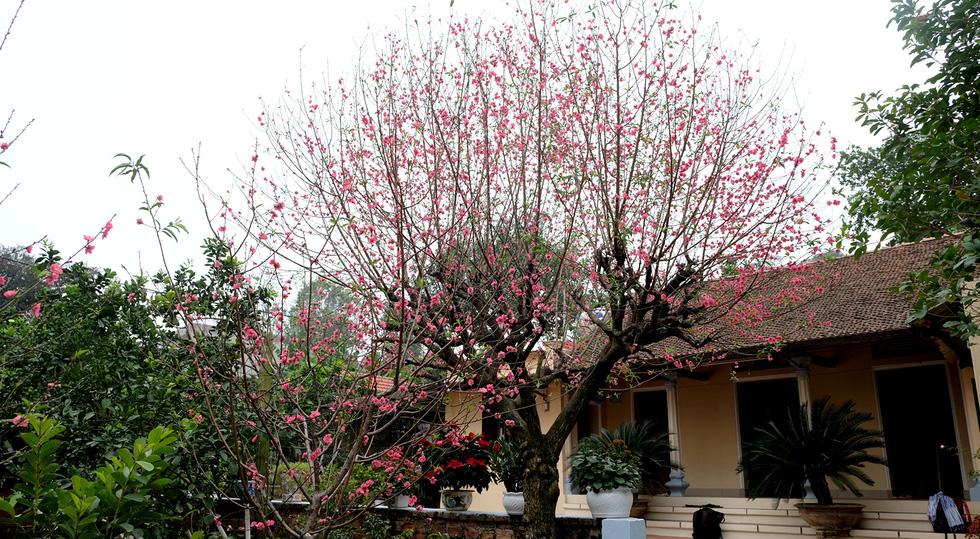 Ngắm cây đào siêu to khổng lồ ở Bắc Giang nở đầy hoa đỏ rực - Ảnh 6.