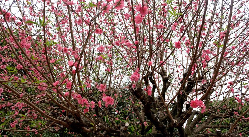 Ngắm cây đào siêu to khổng lồ ở Bắc Giang nở đầy hoa đỏ rực - Ảnh 7.