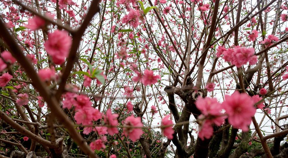Ngắm cây đào siêu to khổng lồ ở Bắc Giang nở đầy hoa đỏ rực - Ảnh 8.