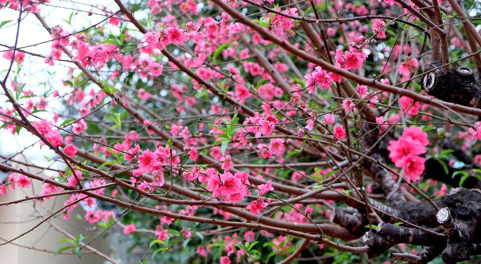Ngắm cây đào siêu to khổng lồ ở Bắc Giang nở đầy hoa đỏ rực - Ảnh 3.
