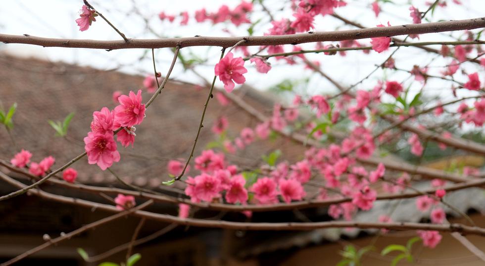 Ngắm cây đào siêu to khổng lồ ở Bắc Giang nở đầy hoa đỏ rực - Ảnh 11.