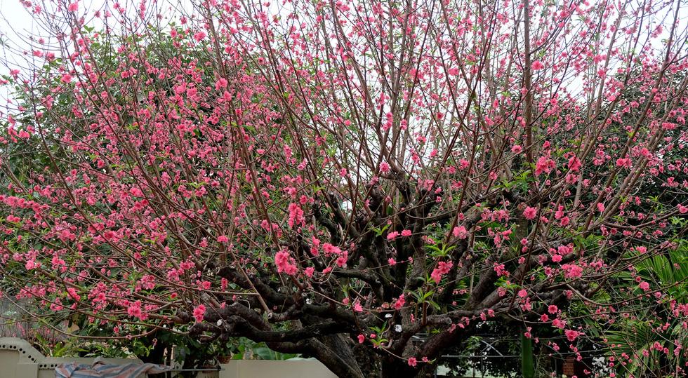 Ngắm cây đào siêu to khổng lồ ở Bắc Giang nở đầy hoa đỏ rực - Ảnh 12.