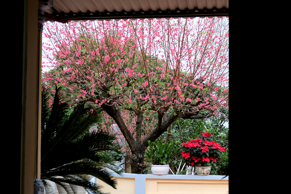 Ngắm cây đào siêu to khổng lồ ở Bắc Giang nở đầy hoa đỏ rực - Ảnh 4.