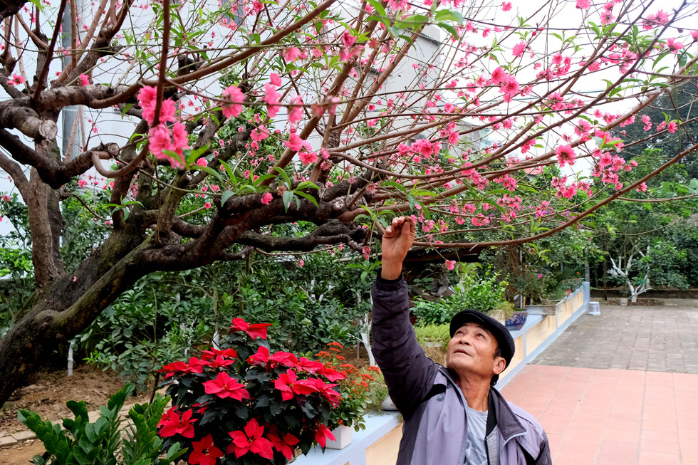 Ngắm cây đào siêu to khổng lồ ở Bắc Giang nở đầy hoa đỏ rực - Ảnh 13.