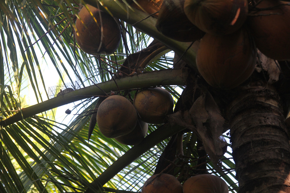 Đặt chuột dừa thu nhập tiền triệu mỗi ngày - Ảnh 3.