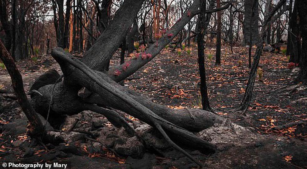Giữa thảm họa cháy rừng Úc, những chồi non nhỏ bé kiên cường hi vọng tái sinh - Ảnh 3.