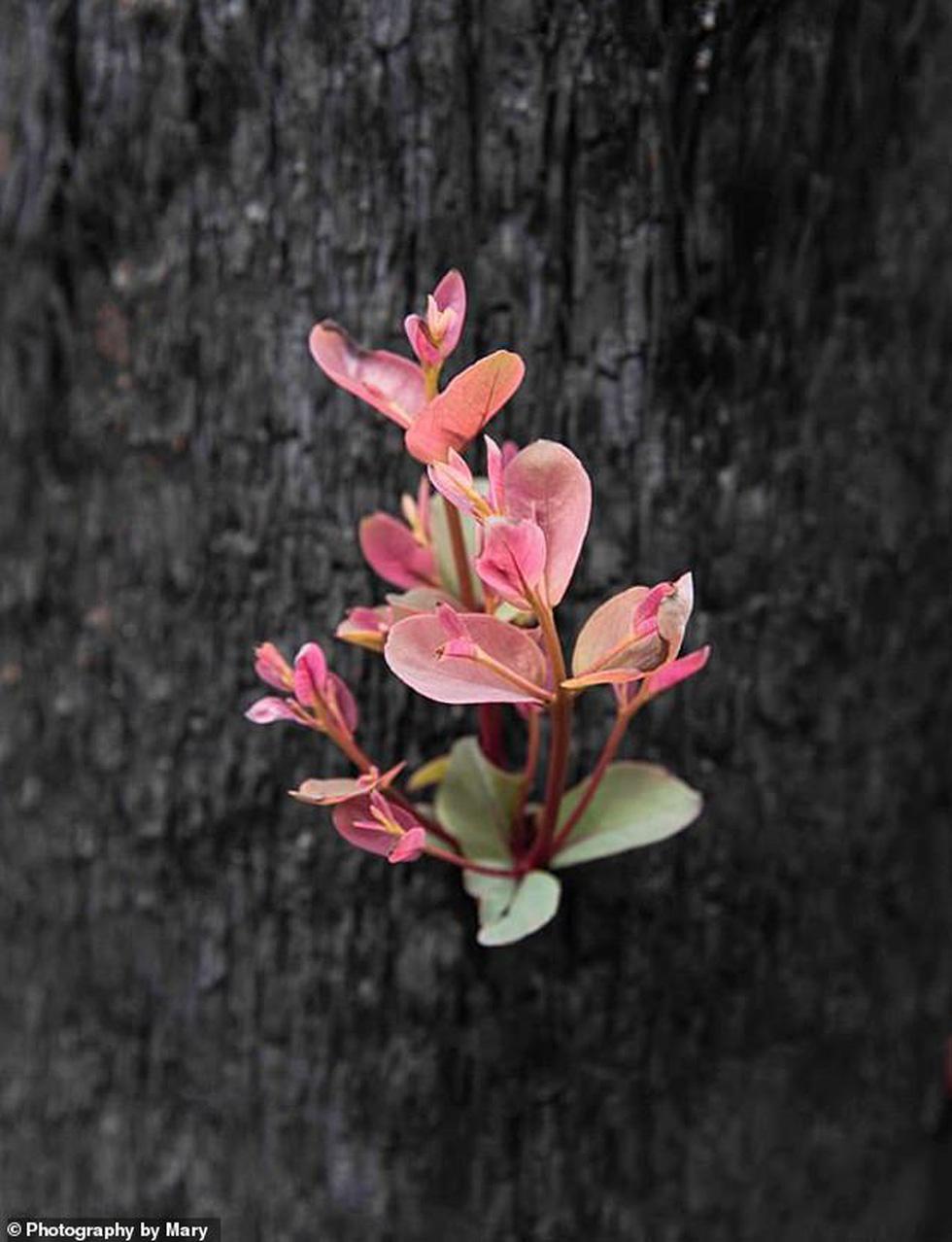 Giữa thảm họa cháy rừng Úc, những chồi non nhỏ bé kiên cường hi vọng tái sinh - Ảnh 1.