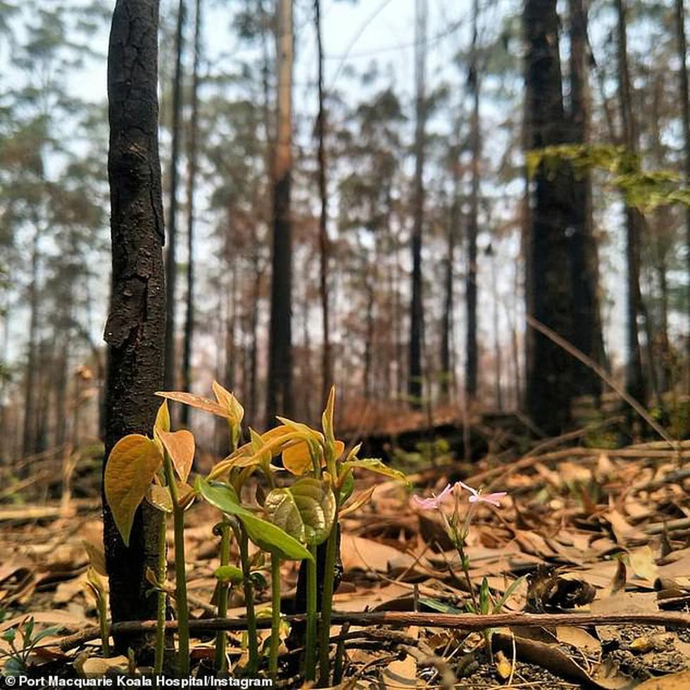 Giữa thảm họa cháy rừng Úc, những chồi non nhỏ bé kiên cường hi vọng tái sinh - Ảnh 5.