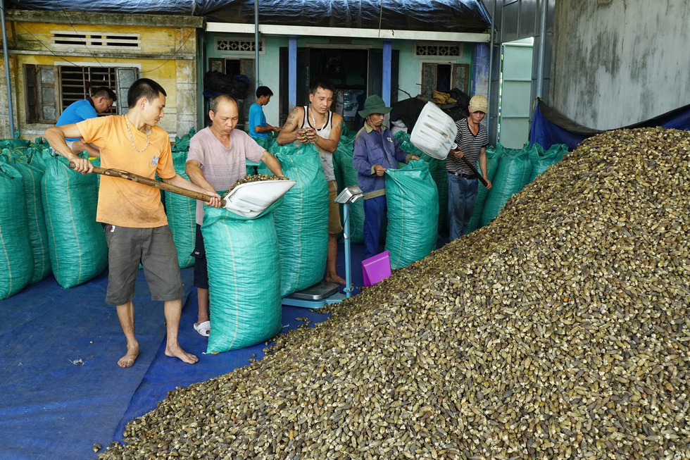Nhộn nhịp mùa cau ở Tiên Phước, Quảng Nam - Ảnh 4.