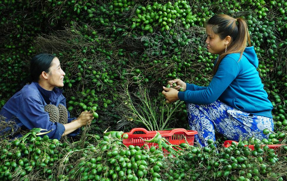 Nhộn nhịp mùa cau ở Tiên Phước, Quảng Nam - Ảnh 1.