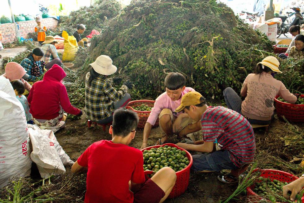 Nhộn nhịp mùa cau ở Tiên Phước, Quảng Nam - Ảnh 6.