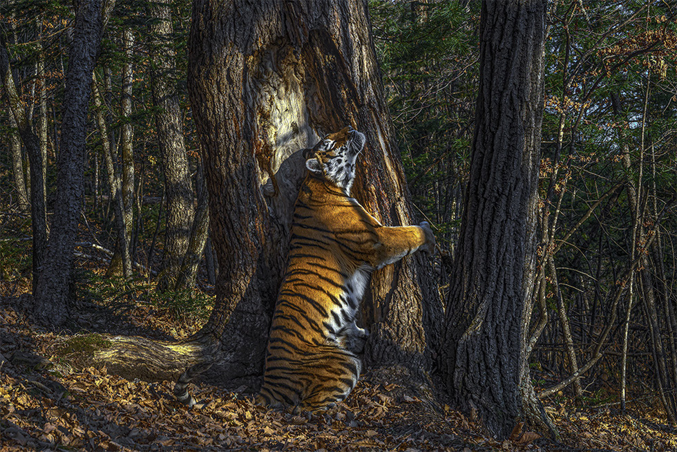 Hổ Siberia ôm cây đoạt giải ảnh động vật hoang dã năm 2020 - Ảnh 1.