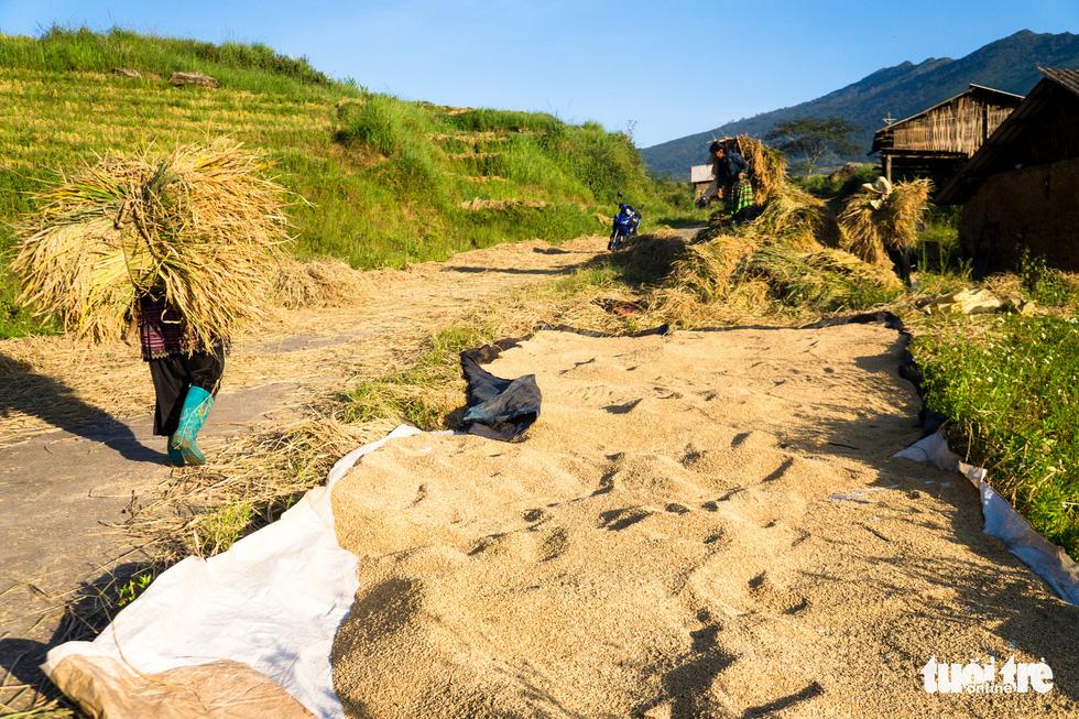 Mùa gặt hạt vàng ở ruộng bậc thang Y Tý - Ảnh 1.