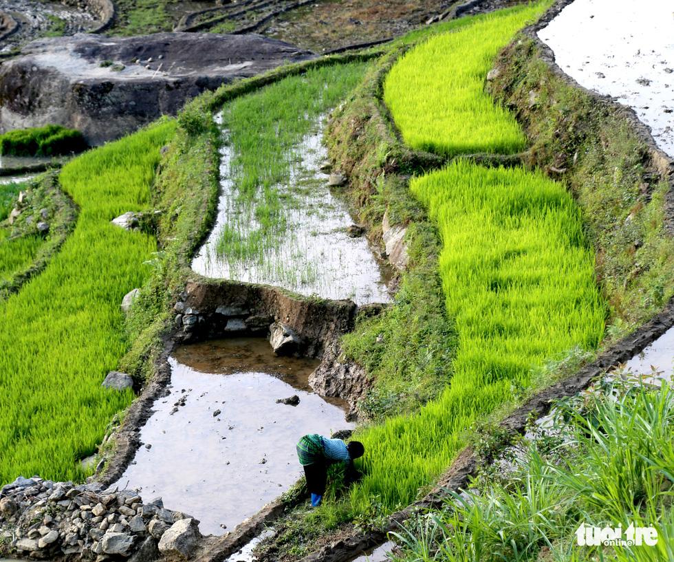 Mùa gặt hạt vàng ở ruộng bậc thang Y Tý - Ảnh 7.