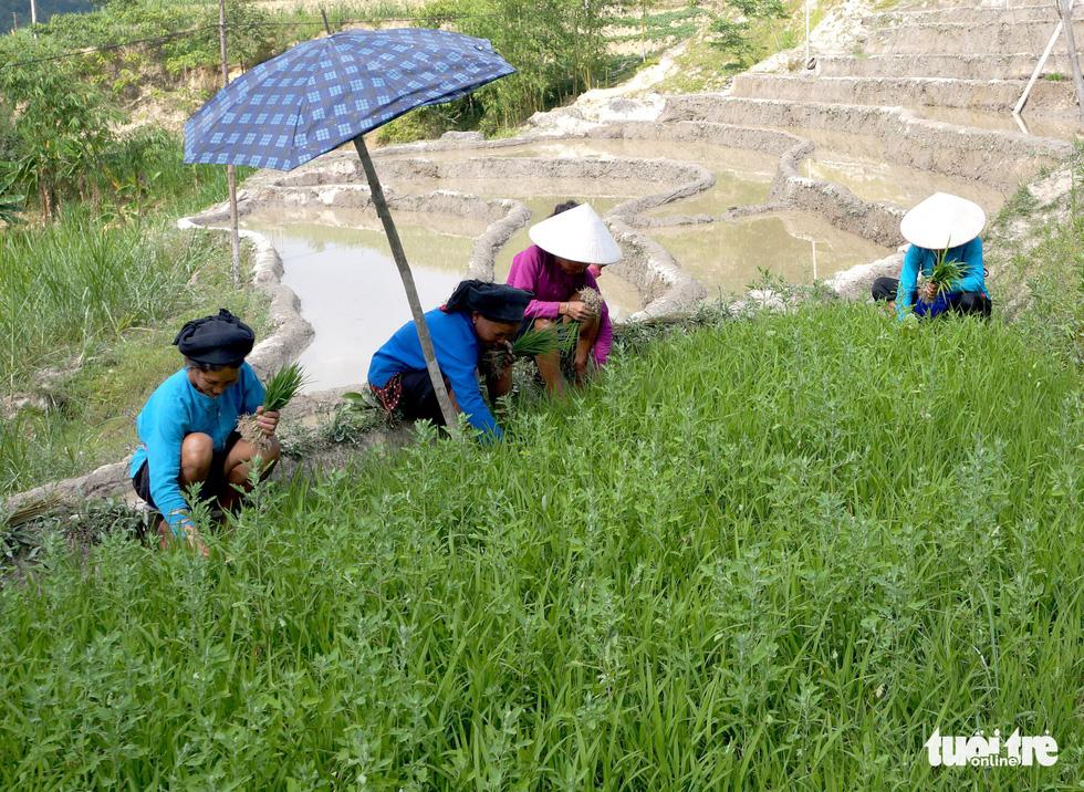 Mùa gặt hạt vàng ở ruộng bậc thang Y Tý - Ảnh 9.