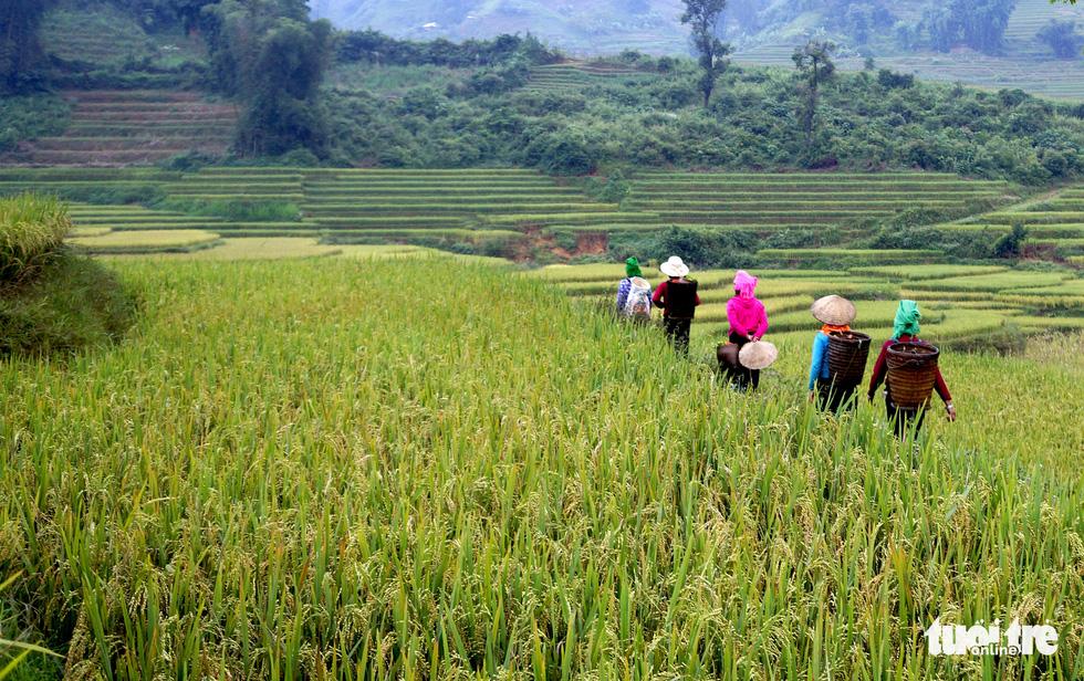Mùa gặt hạt vàng ở ruộng bậc thang Y Tý - Ảnh 11.