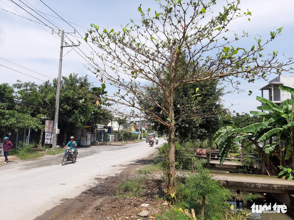 Nhiều cây bàng xanh trơ trụi chỉ sau một đêm vì bị sâu ăn lá - Ảnh 1.